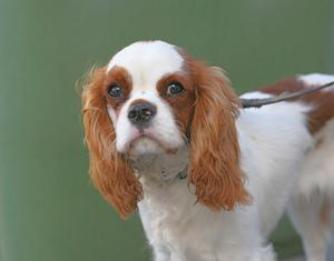 Behandling av hjärtsvikt hos hundar