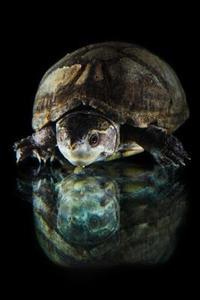 Indianer som använder sköldpaddan som en symbol