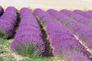 Lavendel växter för del skugga