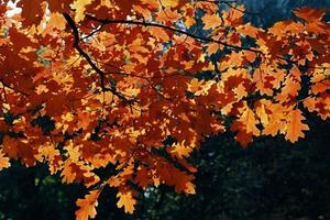 När ekar förlorar sina löv?