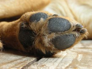 Spricka sår hos hundar