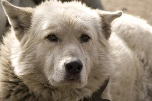 Petit Mal anfall hos hundar