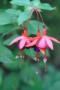Lista över skugga kärleksfull växter för hängande korgar