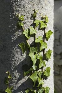 Typer av klättrande växter