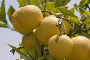 De bästa fruktträd växa i södra Kalifornien
