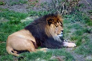Hur man gör en afrikanska lejon Mask