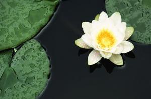 Skillnader mellan lotuses & näckrosor