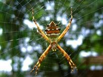 Vad är några vanliga spindlar Funna i Illinois?