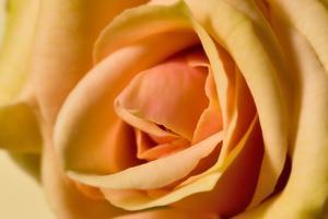 Hybrid tea rose använder