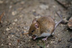 Hur man dödar möss i ett hönshus