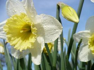 Blomsterlökar som ekorrar inte äter