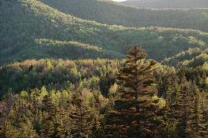 Mycket smal vintergröna träd