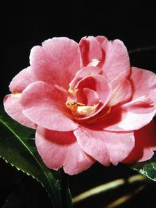 Hur man tar hand om Camellia buskar