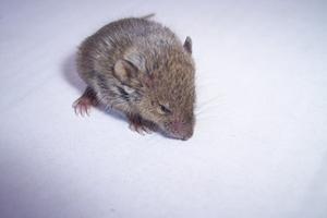 Hur man drar en mus för barn
