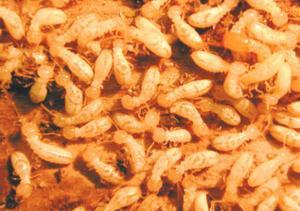 Hur man dödar termiter utan kemikalier