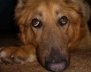 Tecken & symtom på fästingar på hundar