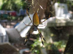 Hur man identifierar Louisiana spindlar