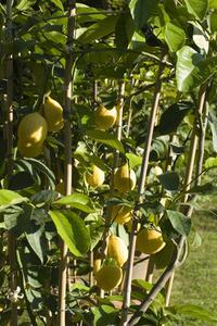 Citronträd med gula blad