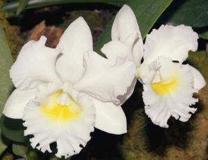 Hur man skär Cattleya orkidéer efter de Bloom