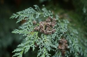 Hur gör jag växa Leyland Cypress träd?