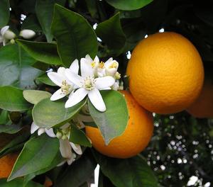 Hur man botar orange tree sjukdomar