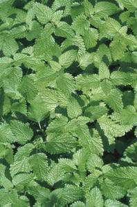 Gula blad på mint