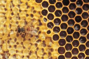 Honey bee vänliga perenner