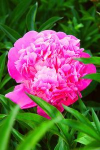 Symboliken i den pion blomman