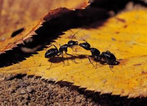 Svarta myror på vintern