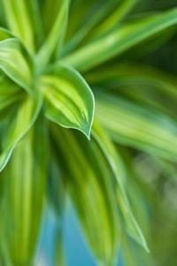 Hur till identifiera gult brokiga vintergröna buskar