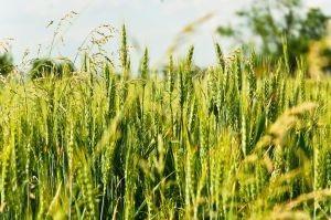 Hur lång tid tar det för att odla vete?