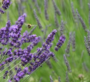 plantera lavendel