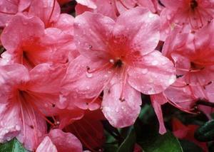 Hur man Beskär ett rosa rufsar azalea