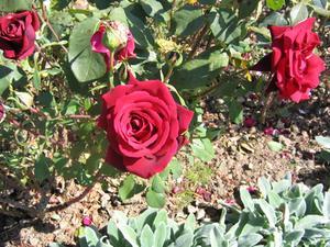 De bästa blommorna att växa med Rose buskar
