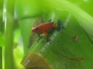Vad äter grodor i regnskogen?