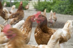 Säkerhetstips om rengöring & Deodorizing Chicken Coops
