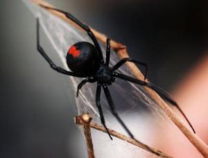 Typer av spindlar i Tennessee