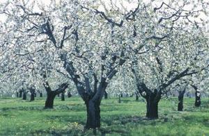 Hur man behandlar cedar-apple svamp
