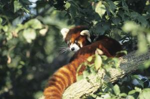 Röd Panda Bear hantverk
