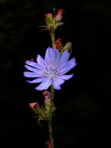 Hur identifierar jag gräsmattan ogräs med små lila blommor?