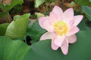 Vad är en Lotus växt?