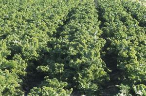 Vad innebär det om min grönkål växter är Wilted & fallande över?