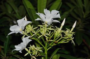 Hur att behålla jasmine krukväxter