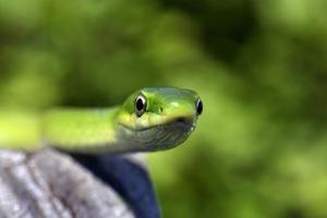 Hur man håller en grön orm som sällskapsdjur