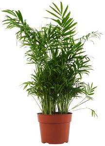 Hur att plantera bambu krukväxter