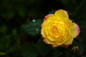 Hur man odlar rosor i ett växthus