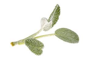 Bacillen äter bladen på mina salvia växter