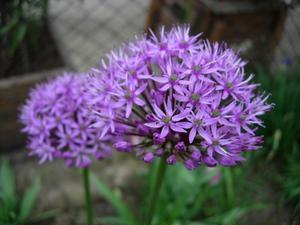 Sommarblommor som är lila & blå
