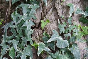 Snabbt växande skugga Ivy