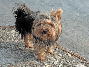 Hund mikrovaskulära Dysplasia